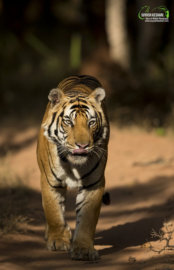 Why do I photograph Tigers?