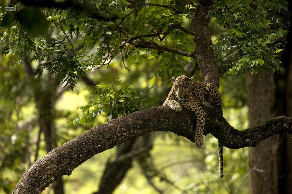 A Lounging Leopard in the Rain and Golden Light